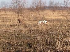 пойнтеры охота весна 2017 на куропатку