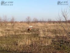 пойнтеры охотятся весной 2017