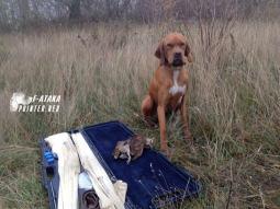 Атака пойнтер на охоте
