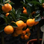 mandarin-tree-neretva-pointers-travel