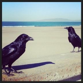 Ravens at Ocean Beach