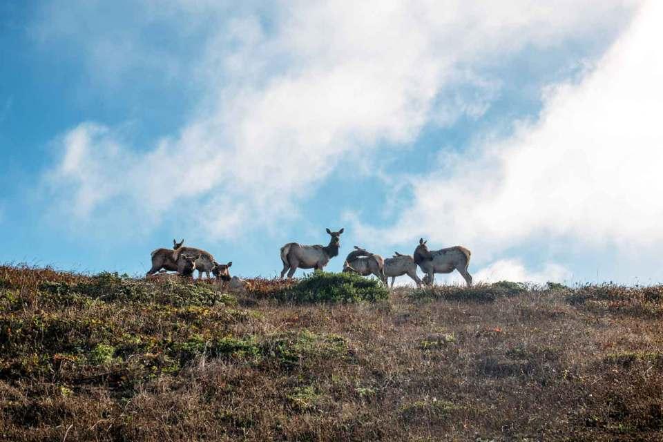 point reyes tule elk