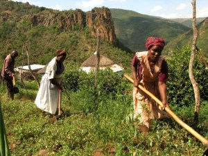 https- www.groundup.org.za article cash-crops-poisoned-pondoland