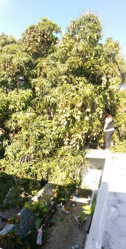 Patty is standing on the THIRD floor, GIGANTIC mango tree