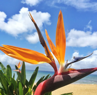 Hawaii s popular tropical flowers and how to wear them Bird of Paradise Hawaii tropical flowers