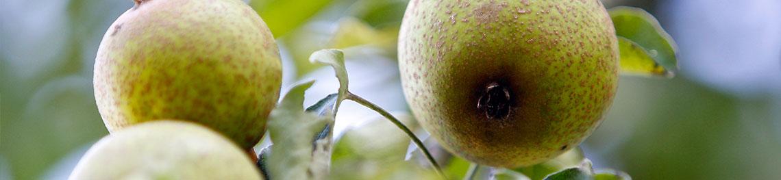 Poires de Plant de Blanc