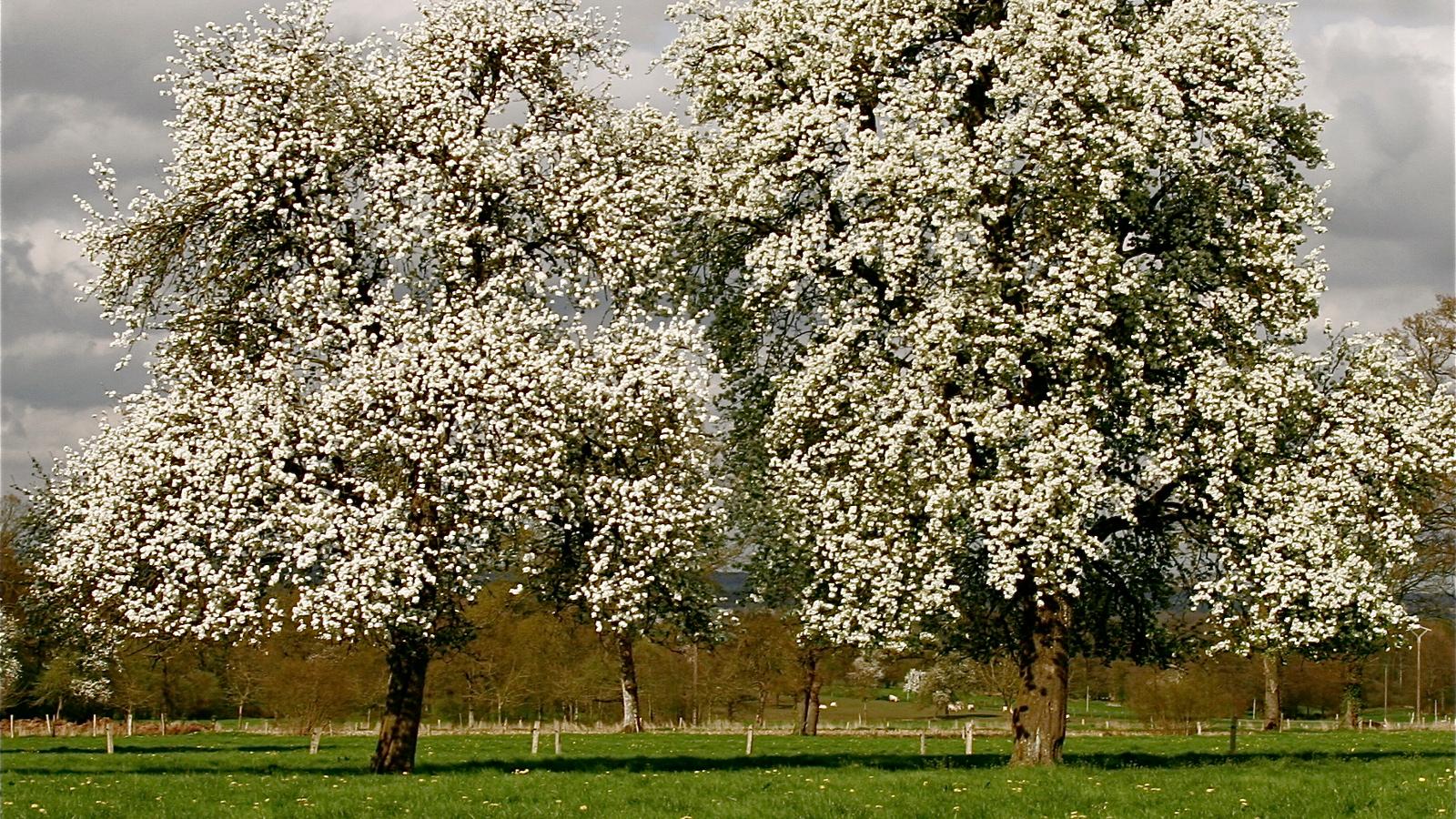 Poiriers en fleurs dans un ciel gris