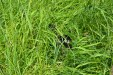 Minirex in the grass1
