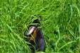 Minirex in the grass2