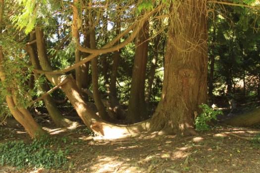 Old Yew tree in Arboretum