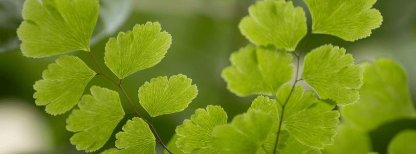 Adiantum fragrans