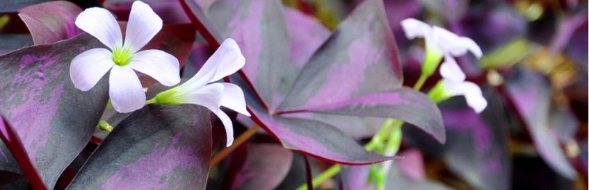 Le feuillage exceptionnel de l'Oxalis triangularis