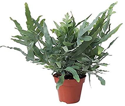 Phlebodium Aureum en pot sur fond blanc