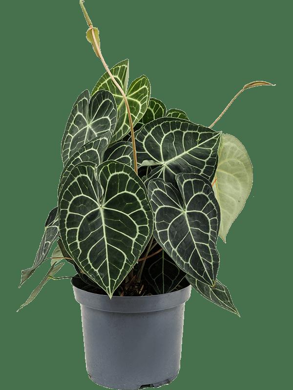 anthurium clarinervium en pot