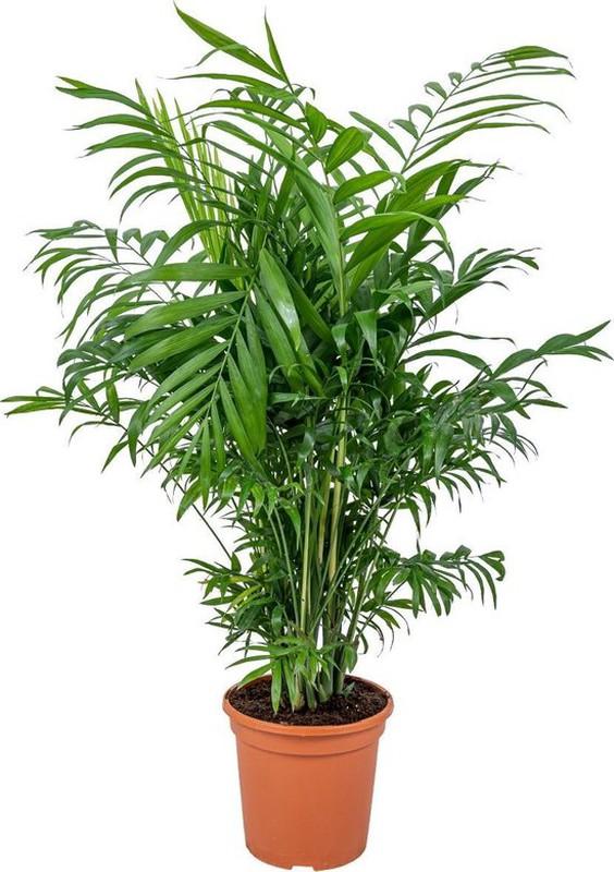 L'élégant feuillage du palmier de petite taille