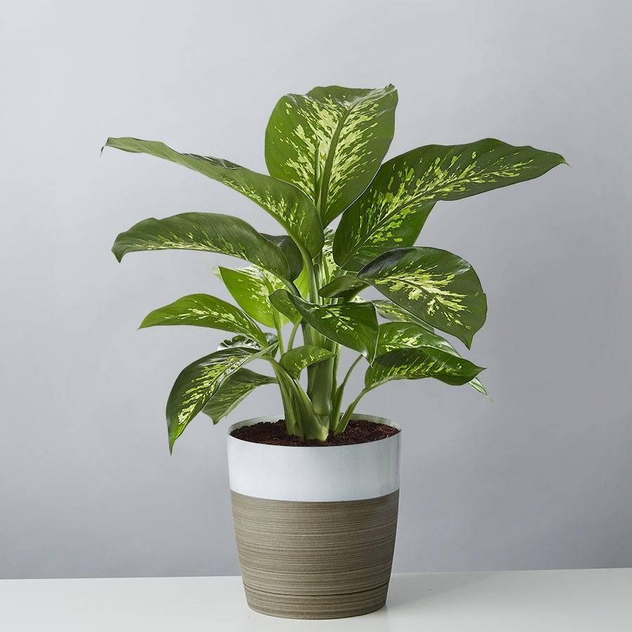 Le Dieffenbachia hybrid en pot en intérieur