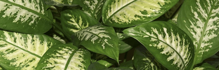 Le feuillage original du Dieffenbachia hybrid