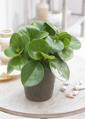 peperomia obtusifolia en pot en intérieur