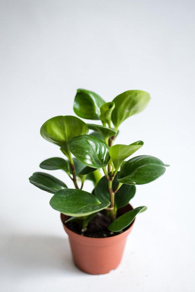peperomia obtusifolia en pot