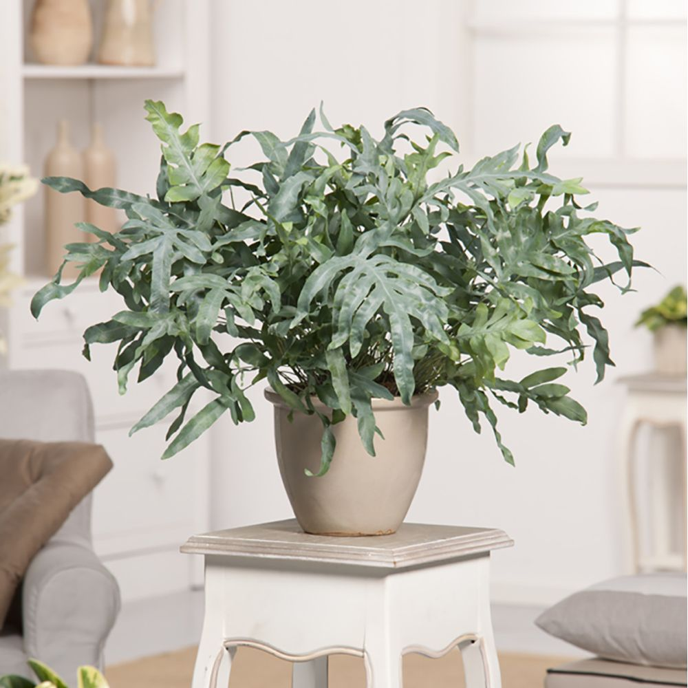 Phlebodium Aureum en pot à l'intérieur d'une maison