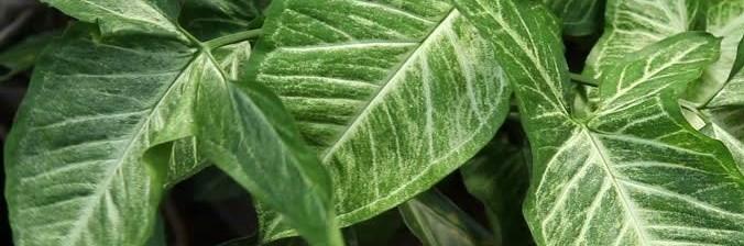 Le feuillage juvénile du Syngonium semblable au fer de flèche
