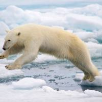Can Polar Bears Jump? - How High Can a Polar Bear Jump?