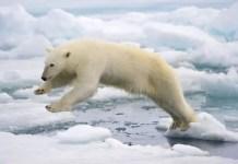 can polar bears jump
