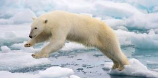 can polar bears jump