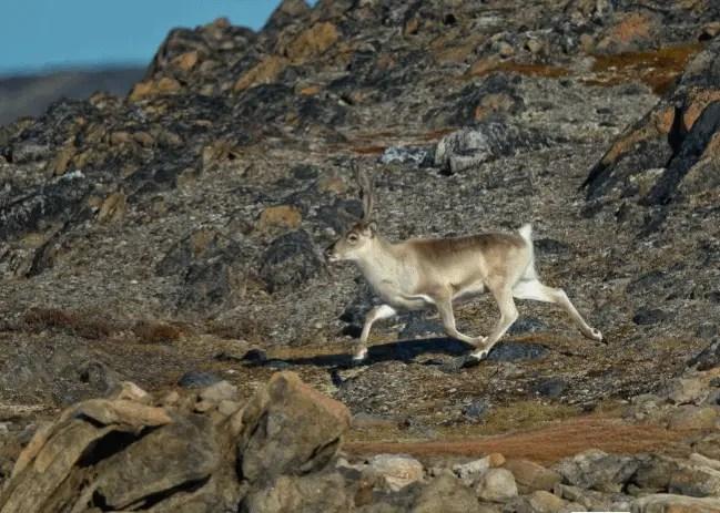 do polar bears eat caribou