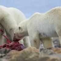 do polar bears eat whales