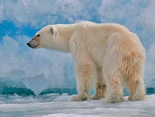 Do Polar Bears have Tails? – Polar Bear Tail Facts
