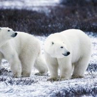 Do Polar Bears Live in Antarctica? - Are there Polar Bears in Antarctica?