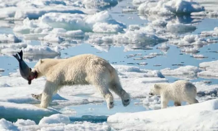 Do Polar Bears eat Caribou?