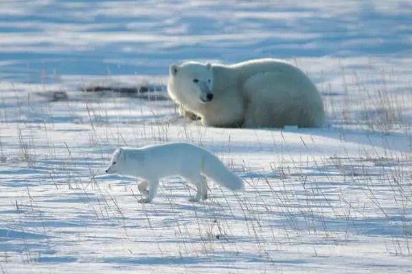 Do Polar Bears Eat Arctic Foxes?