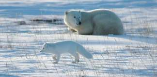 do polar bears eat arctic foxes