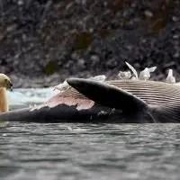 do polar bears eat killer whales