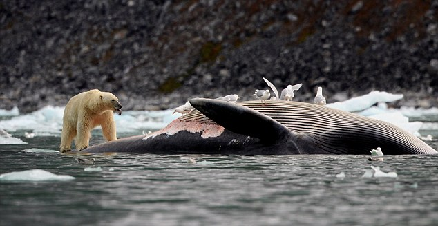 Do Killer Whales Eat Polar Bears?