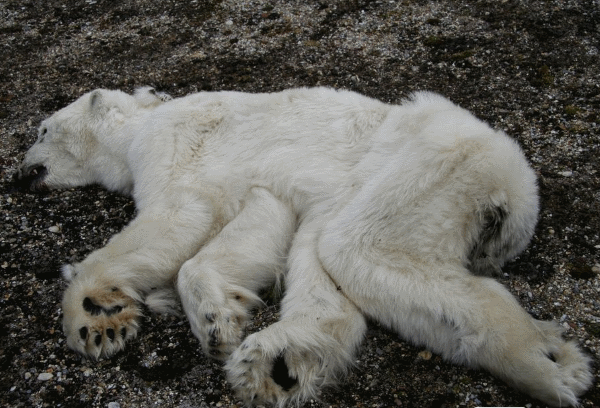 conservation status of polar bears