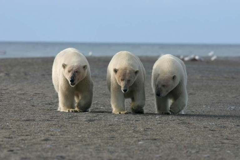 How Many Polar Bears are left in the World? – Polar Bear Population 2021
