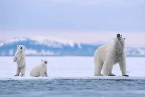 How Far Can a Polar Bear Smell?