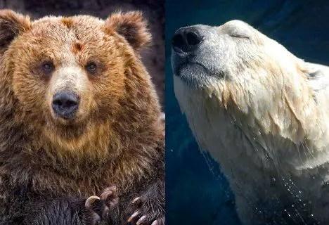 Polar Bear vs Grizzly Bear | Polar Bear vs Brown Bear