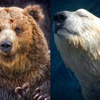 Polar Bear vs Grizzly Bear | Polar Bear vs Brown Bear