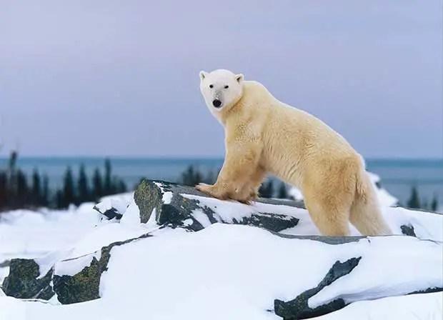 How Fast Do Polar Bears Run? – Polar Bear Top Speed