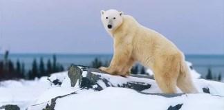 how fast do polar bears run