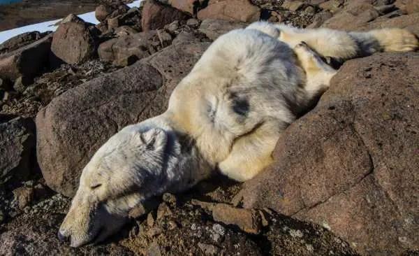 Why Do People Hunt Polar Bears?
