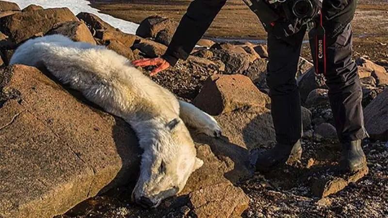 why do people hunt polar bears