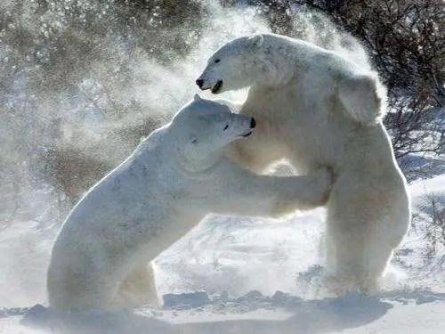 Polar Bear is the Largest Carnivore – Is the Polar Bear the Largest Bear?