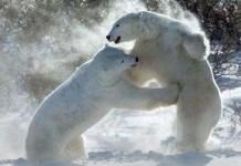 polar bear is the largest carnivorous land mammal