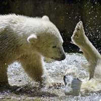 Polar Bear Metabolism | Internal Body Temperature of a Polar Bear
