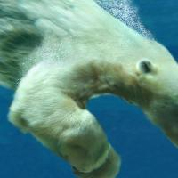 How Fast Can a Polar Bear Swim?